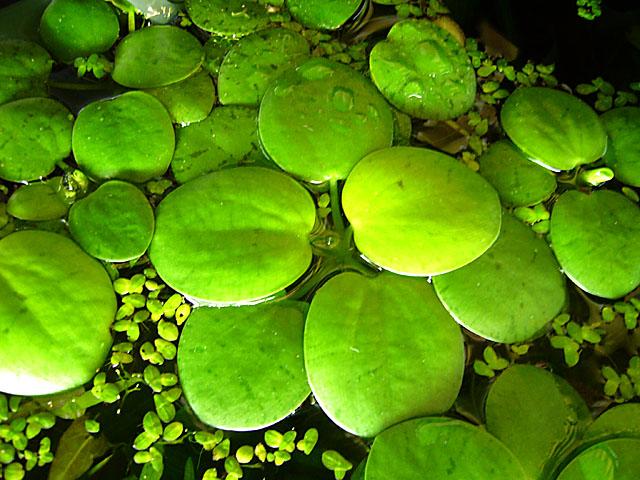 Photo of Buscan producir bioetanol con siembra de lentejas acuáticas en aguas servidas en Rosario